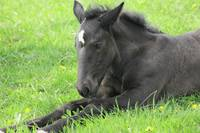 Percheron Foal