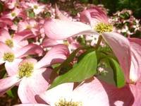 Field of Pink Dogwood