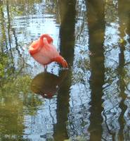Solitary Flamingo