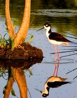 Black Neck Stilt Reflect