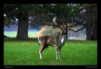 A Holkham Stag