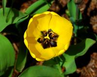 Yellow Tulip #1