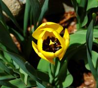 Yellow Tulip #3