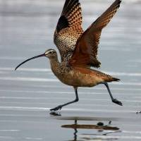 curlew-wings-ext001 Art Prints & Posters by Michael