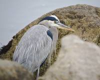 Great Blue Heron (Ardea Herodias) bird, Morro Bay,
