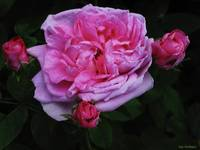 Pink Rose With Three Buds