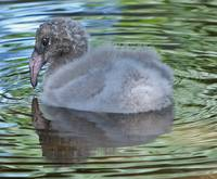 Baby Chilean Flamingo