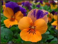 Prismatic Pansies