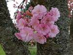 Heritage Kwanzan flowering cherry