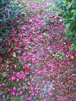 Carpet of Petals