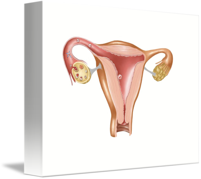 Anatomy Of Female Uterus By Stocktrek Images