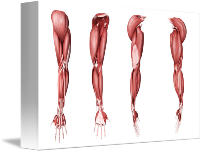 Medical Illustration Of Human Arm Muscles Four Si By Stocktrek Images