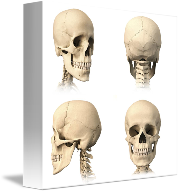 Anatomy Of Human Skull From Different Angles By Stocktrek Images