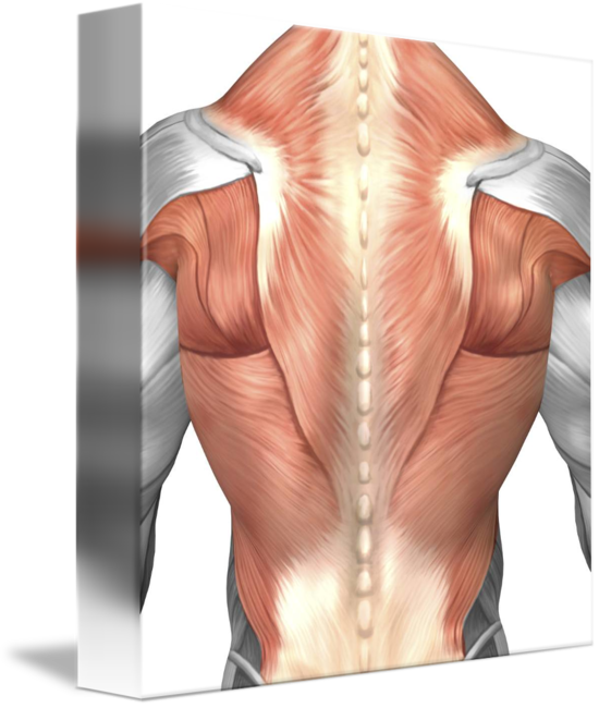Male muscle anatomy of the human back by StockTrek Images