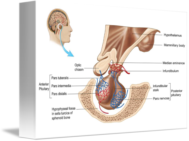 Anatomy of pituitary gland by StockTrek Images
