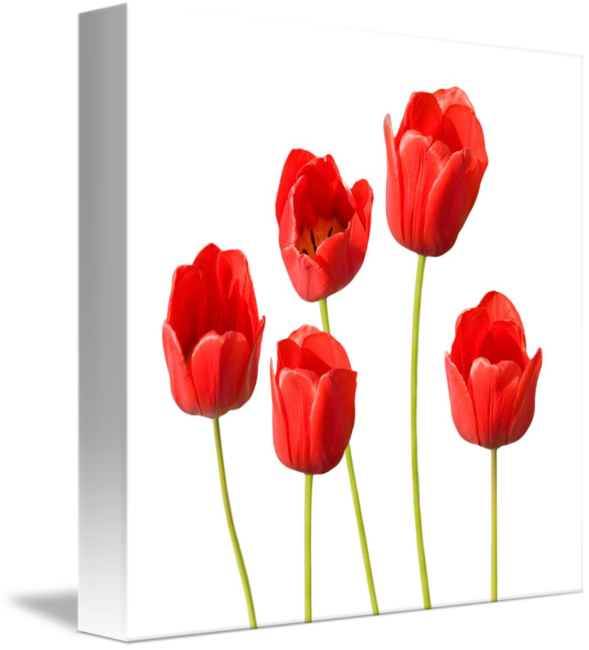 red tulips white background wall art by natalie kinnear