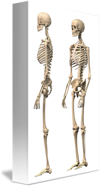 Anatomy of male human skeleton, side view and pers by StockTrek Images