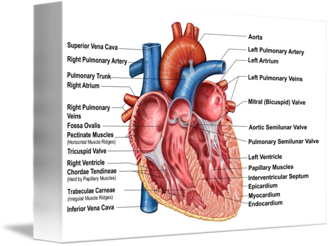 Anatomy Of Heart Interior Frontal Section By Stocktrek Images