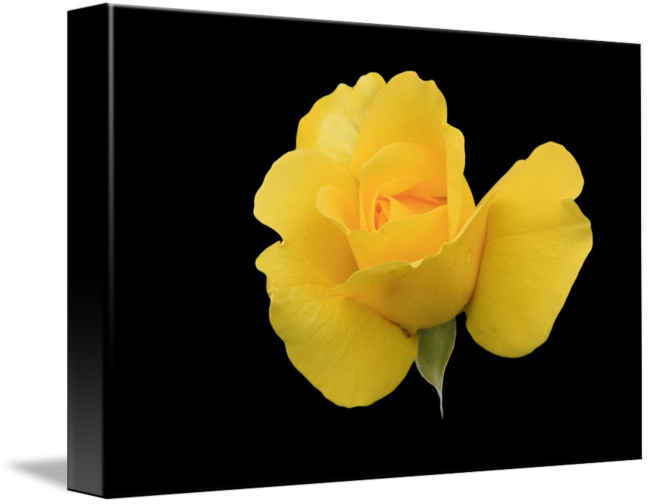 Single Yellow Rose On Black Background By Susan Leonard