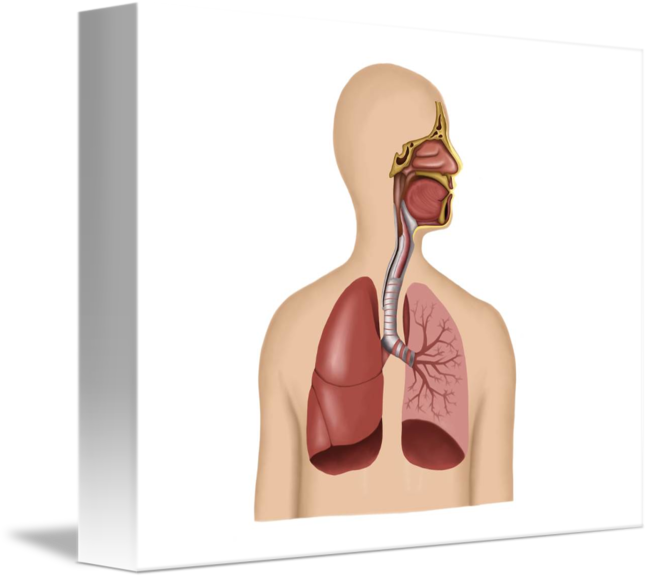 Anatomy Of Human Respiratory System By Stocktrek Images