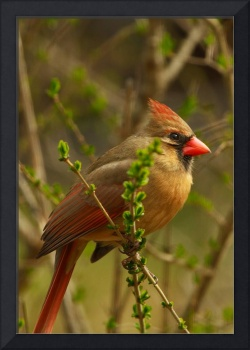 Female Cardinal by Robert McCleeary