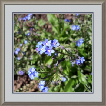 Blue Forget Me Not by Corinne Elizabeth Cowherd