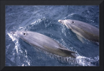 Bottlenose dolphins in the Bay of Islands, NZ