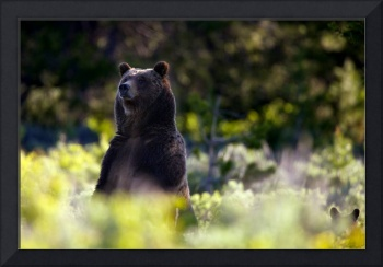 Standing Grizzly and Cub