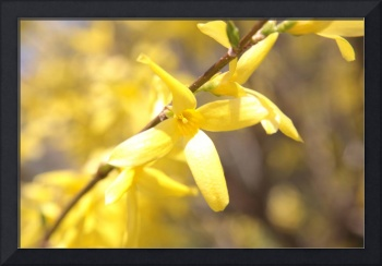 Beautiful yellow forsythia flowers background.