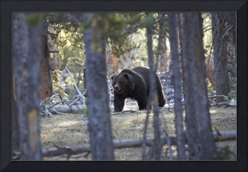 Yellowstone Grizzly - The Preacher