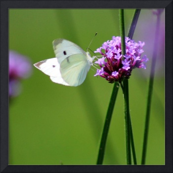 Cabbage White Butterfly Square