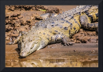 wild crocodile on the river bank