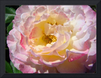 Beautiful Big Pink Yellow Rose Floral art prints