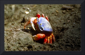 Beautiful Land Crab