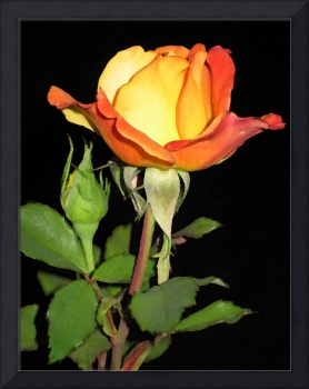 Yellow-orange rosebud