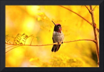 Anna's Hummingbird in Golden Light