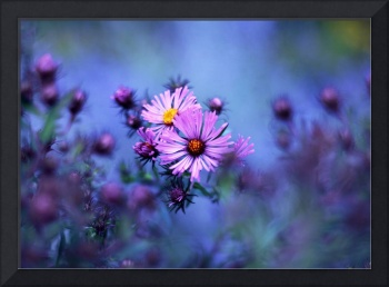 Evening Asters