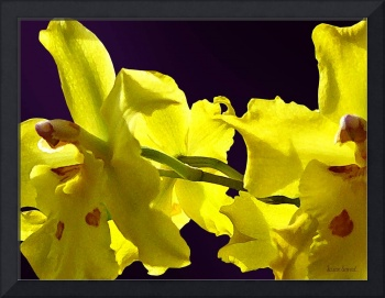 Backlit Yellow Orchids