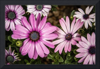 Beautiful colourful African Daisies, Osteospermum,