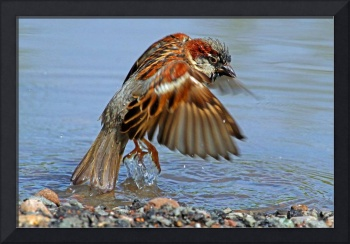Bird Bathing.....House Sparrow (Passer domesticus)