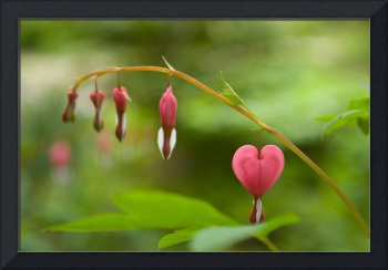Lonely Bleeding Heart Flower