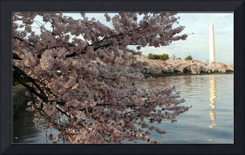 Cherry Blossom Peak Bloom Washington DC no-40