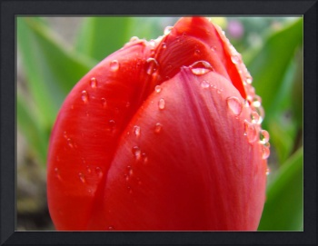 TULIPS RED TULIP FLOWER 15 Spring Garden Flowers