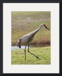 Florida Sandhill Crane 0825 by Jacque Alameddine