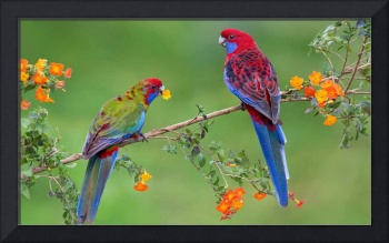 Crimson Rosella Bird