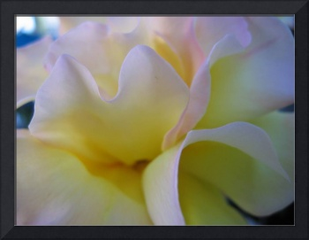 yellow and pink rose 2 (c)