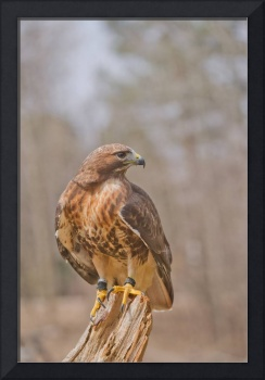 Red-tailed hawk against diffused woods