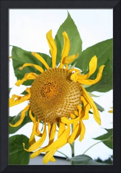 sunflowers flower photo art print