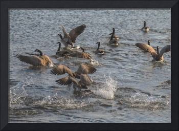 Spooked Geese