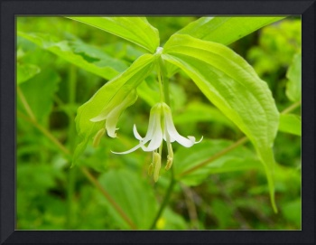 Northern Fairy Bells Prosartes trachycarpa